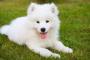Anomalías del anillo vascular en perros