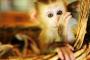 7 tipos de monos que se pueden mantener como mascotas