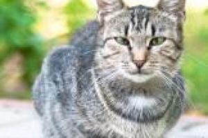 Los gatos mayores necesitan más calorías
