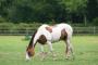 Síndrome de Cushing en caballos