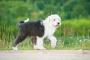 Retención de líquidos e hinchazón de los tejidos debido a la acumulación de linfa en los perros