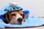 Tularemia en perros: Síntomas, causas y tratamientos.