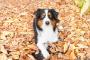 Tratamiento y curación de la diarrea del perro - Diarrea (respuesta a antibióticos) en perros