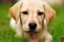 Niveles altos de nitrógeno sanguíneo en los perros