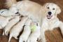 ¿Cuánto tiempo están los perros embarazadas? Período de gestación de perro y embarazo