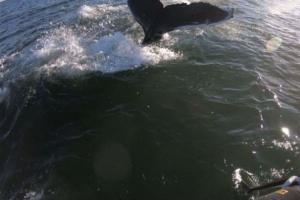 Chapoteadores reciben una visita especial de la ballena gigante y curiosa