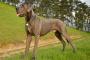 Discospondilitis en perros