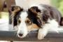 Exceso de proteína en la orina de perros