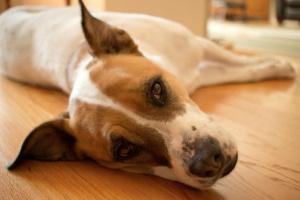 Regurgitación en perros