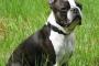 Todo lo que debe saber antes de adoptar un Boston Terrier