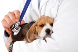 Endocarditis en perros