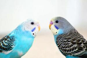 Combinación de colores en loros y otras aves