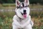 5 hechos increíbles acerca de los perros husky