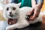 Ritmo cardíaco anormal en los gatos