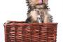 Estornudos invertidos en perros
