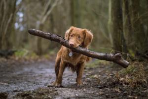 Prolapso uretral en perros