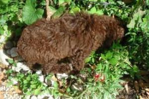 Envenenamiento por aceite de poleo en perros