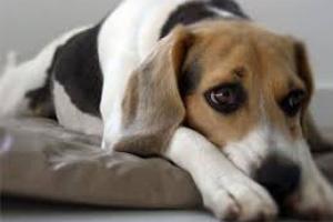 Infección fúngica del tracto urinario inferior en perros