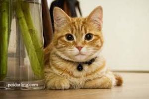 Infección bacteriana de la mama en los gatos