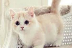 Diabetes con Coma en Gatos