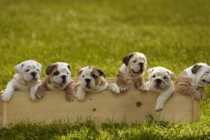 El problema con la crianza de perros braquicéfalos (de cara corta).