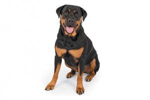Lo que debe saber sobre Rottweilers