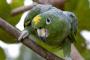 El loro harinoso del amazonas