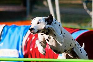 Conceptos básicos sobre la agilidad del perro