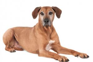 Ampliación de próstata en perros