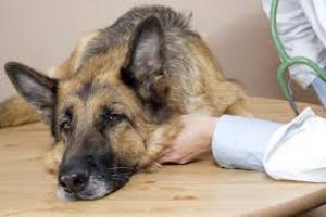 Infección Bacteriana (Pielonefritis) de los Riñones en Perros