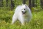Defecto congénito del corazón (estenosis pulmonar) en perros