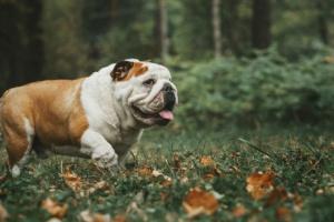 Latidos muy rápidos en el corazón de un perro