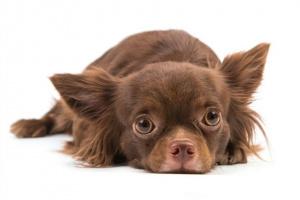 Enfermedad renal (congénita) en perros