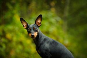 Defecto cardíaco (congénito) en perros
