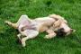 Inflamación de la cavidad abdominal del perro - Cavidad peritoneal del perro