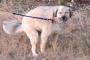Flujo anormal de orina debido a disfunción de la vejiga urinaria en perros