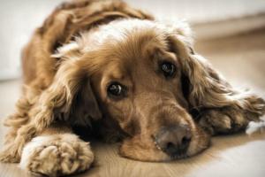 Inflamación de los vasos sanguíneos del cuerpo en los perros
