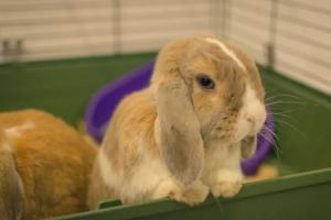 3 razones por las que su conejo cojea