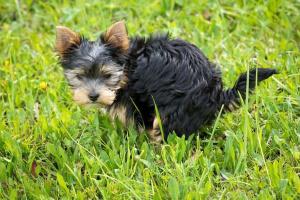 ¿Por qué los perros te miran fijamente cuando defecan?