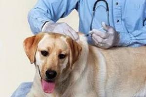 Lungworms en perros