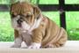 Infección del gusano de estómago (Physalopterosis) en perros