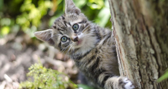 Miotonía hereditaria no inflamatoria en gatos