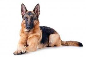 Inflamación de las venas superficiales en los perros
