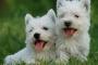 Heartworm en perros y lo que debes saber