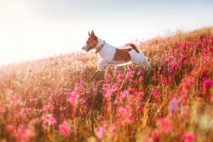 Tumores de transmisión sexual en perros