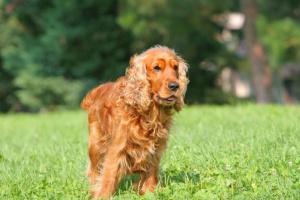 Cáncer de piel (Plasmacitoma mucocutáneo) en perros