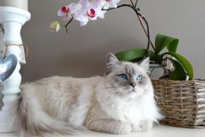 Reabsorción dental: una enfermedad dental dolorosamente común en los gatos