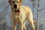 Hepatozoonosis (enfermedad transmitida por garrapatas) en perros