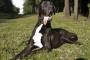 Hinchazón o Dilatación Estomacal en Perros