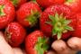 ¿Pueden los perros comer fresas?